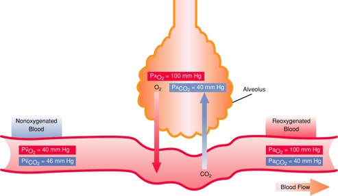 Carbon dioxide in blood is high