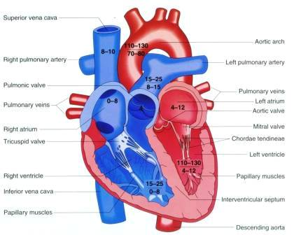 Structure Of The Heart Heart structure and purpose.