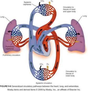 The Heart and Circulatory System