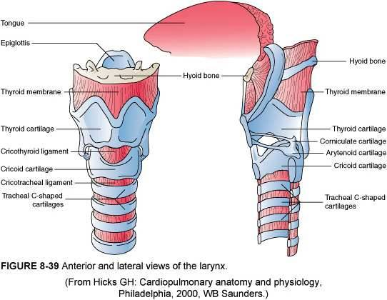 Upper airway anatomy